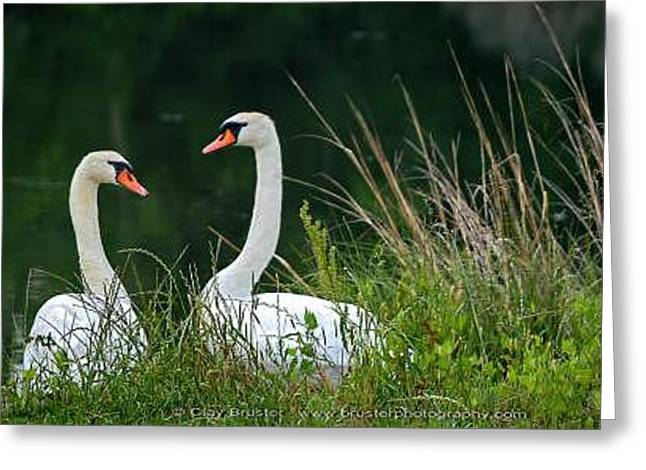 Loving Swans Greeting Card by Clayton Bruster