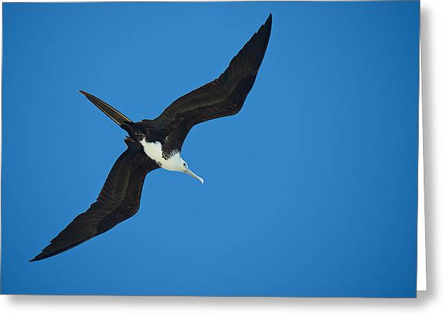 Low Angle View Of A Frigatebird Flying Greeting Card by Panoramic Images