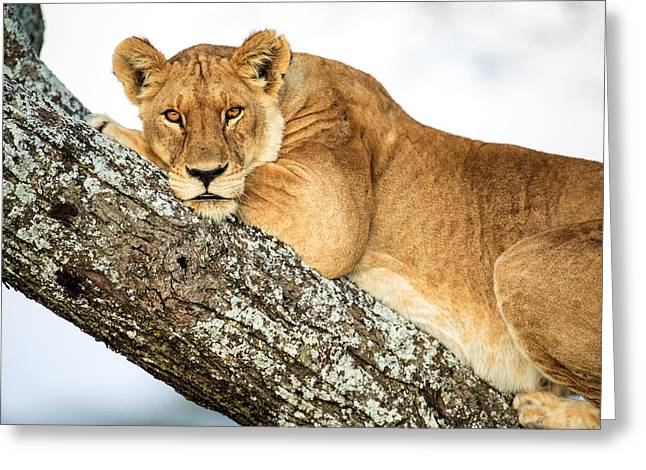 Low Angle View Of Lion Panthera Leo Greeting Card by Panoramic Images