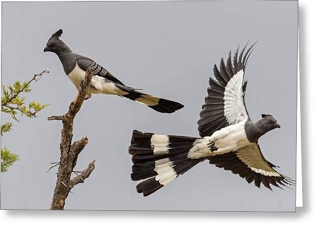 Low Angle View Of White-bellied Greeting Card