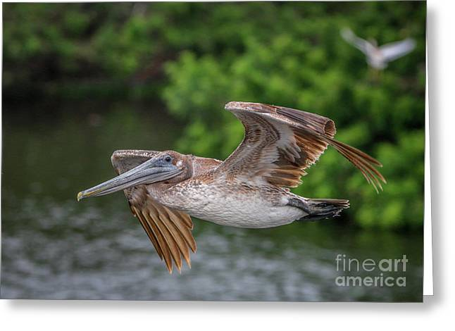 Low Pass Pelican #1 Greeting Card