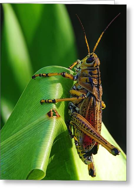Lubber Grasshopper II Greeting Card by Richard Rizzo