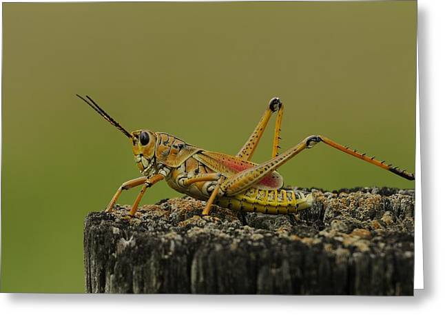 Lubber Grasshopper On A Post Greeting Card by Bradford Martin