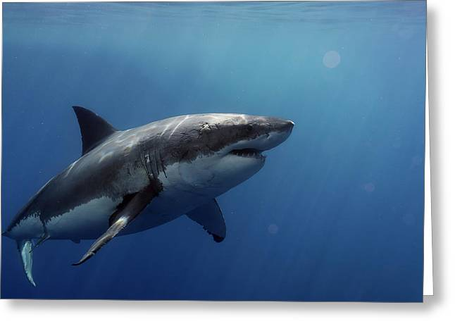 Lucy Posing At Isla Guadalupe Greeting Card by Shane Linke