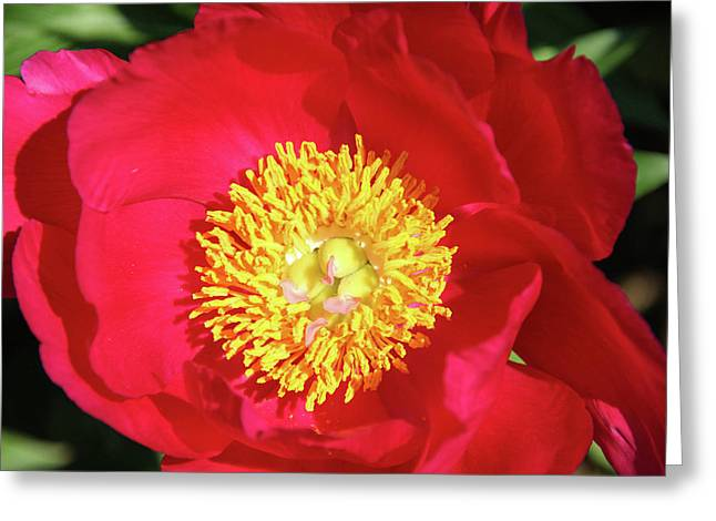 Luminant Pink Peony Greeting Card by Margo Cat Photos
