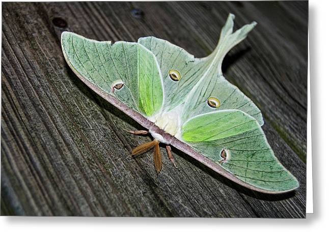 Luna Moth Greeting Card by Amber Flowers
