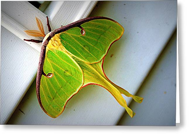 Luna Moth Greeting Card by Cricket Hackmann