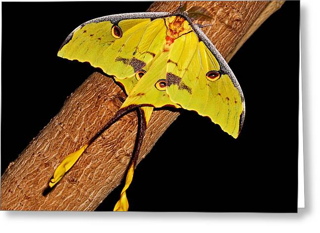 Greeting Card featuring the photograph Luna Moth by Judy Vincent