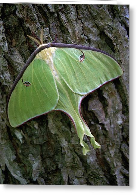 Luna Moth Greeting Card by Marie Hicks