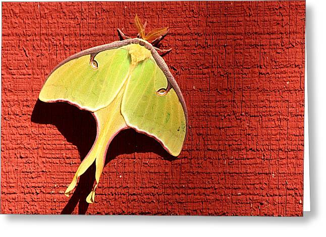 Luna Moth On Red Barn Greeting Card