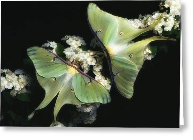 Luna Moths Greeting Card