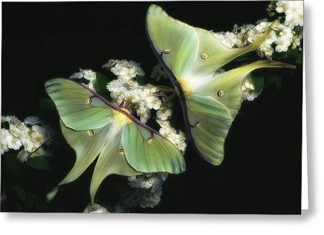 Luna Moths Greeting Card