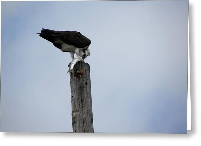 Lunch On A Telephone Pole Greeting Card by Patricia Bigelow