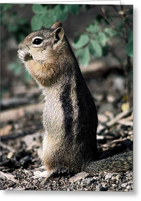 Greeting Card featuring the photograph Lunchtime For Ground Squirrel by Sally Weigand