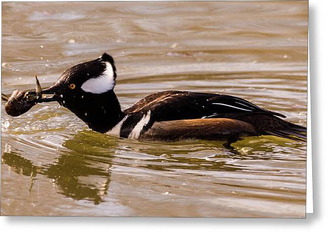 Greeting Card featuring the photograph Lunchtime For The Hooded Merganser by Randy Scherkenbach