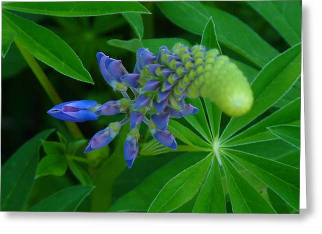 Lupin In Bloom Early Spring Greeting Card by Jeremy Wolff