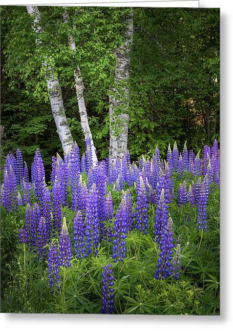 Lupine And Birch Tree Greeting Card