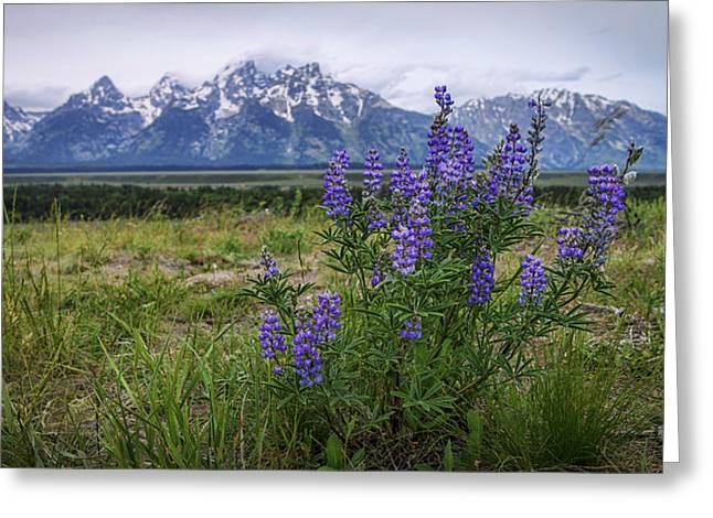 Lupine Beauty Greeting Card by Chad Dutson