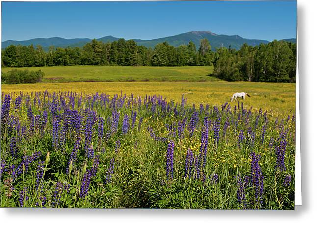Greeting Card featuring the photograph Lupine Festival by Brenda Jacobs