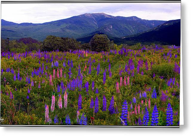 Lupine Field In Franconia Range Greeting Card