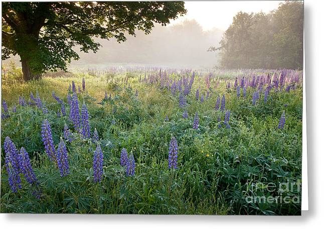 Lupine Field Greeting Card