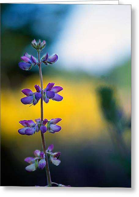 Lupine Flower Blossoms Greeting Card by Panoramic Images