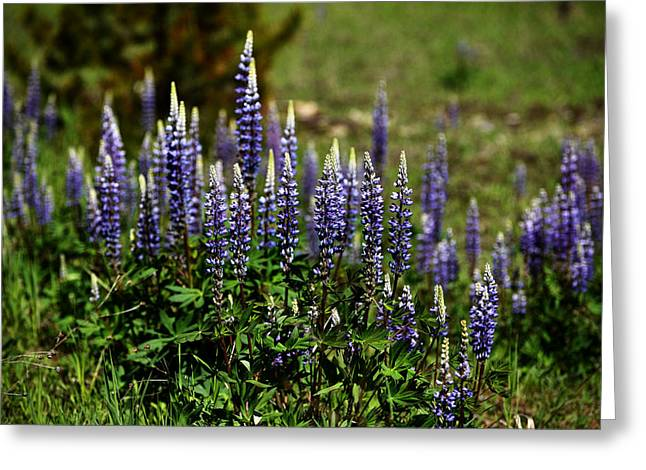 Lupine In Montana 2 Greeting Card