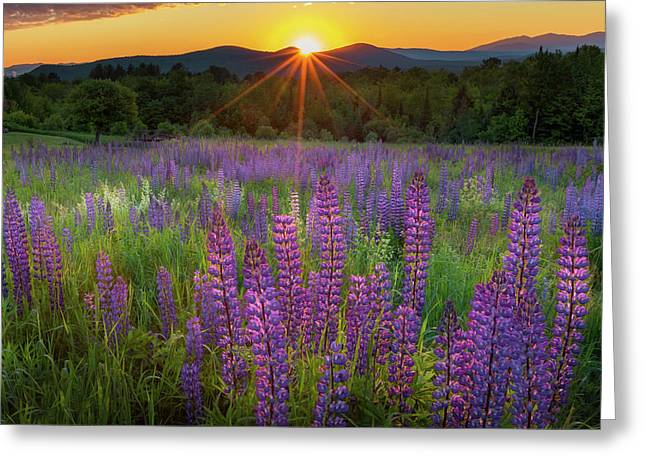 Lupine Lumination Square Greeting Card