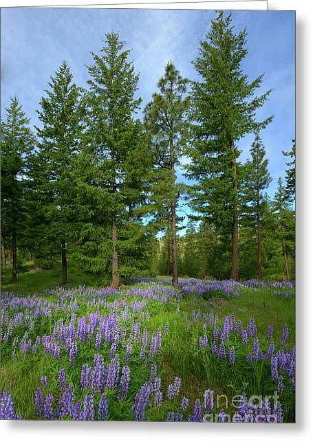 Lupine Meadow Greeting Card