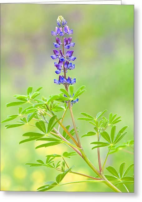 Greeting Card featuring the photograph Lupine by Ram Vasudev