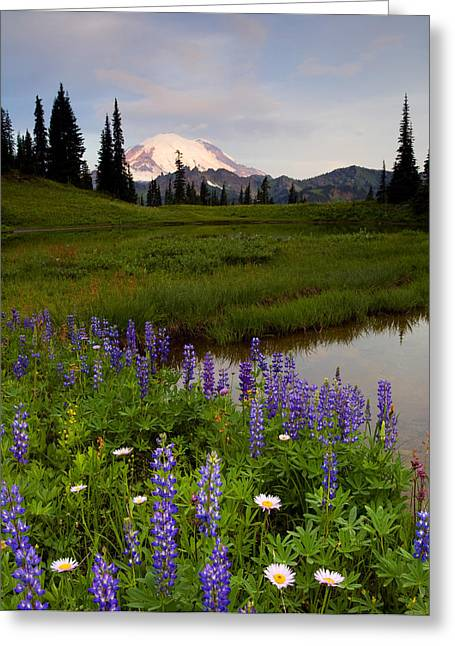 Aster Greeting Cards - Lupine Sunrise Greeting Card by Mike  Dawson