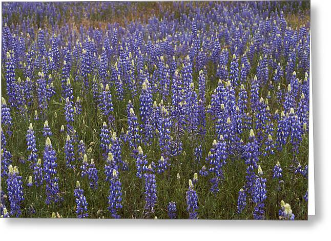 Lupines Greeting Card by Doug Herr