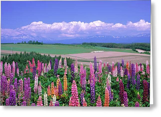 Lupines Hokkaido Japan Greeting Card by Panoramic Images