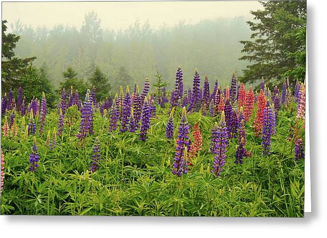 Lupins In The Mist Greeting Card