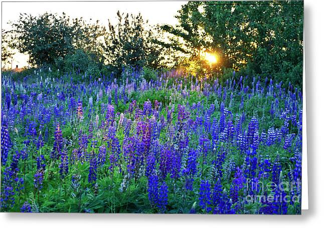Lupins In The Sunbeam Greeting Card
