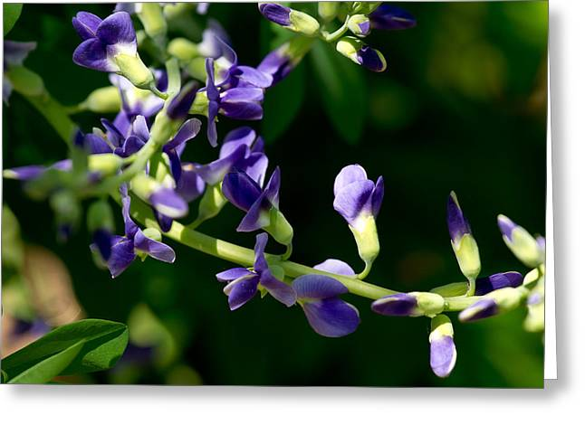 Lupinus Latifolius 2 Greeting Card by Edward Myers
