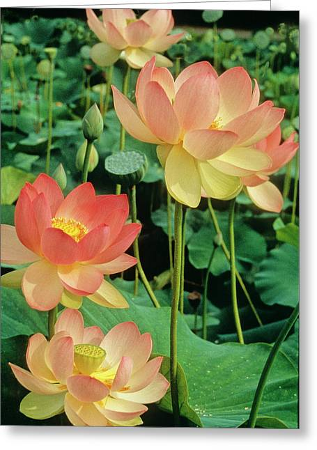 Luscious Lotus Greeting Card