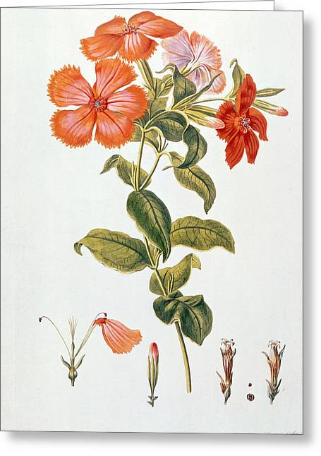 Botanical Greeting Cards - Lychnis coronaria Greeting Card by Leopold Trattinick