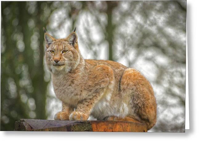 Lynx. Greeting Card