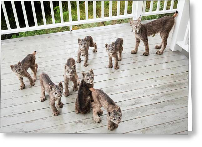 Lynx Family Portrait 11x14 Greeting Card