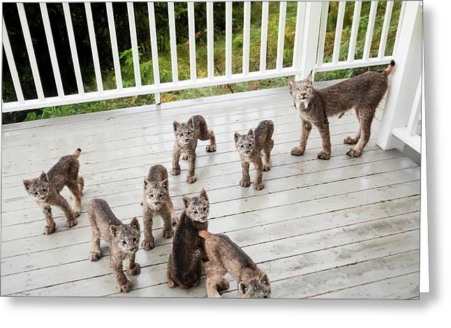 Lynx Family Portrait Greeting Card