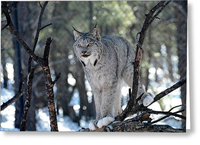 Lynx In Snow Greeting Card by Sheila Fitzgerald