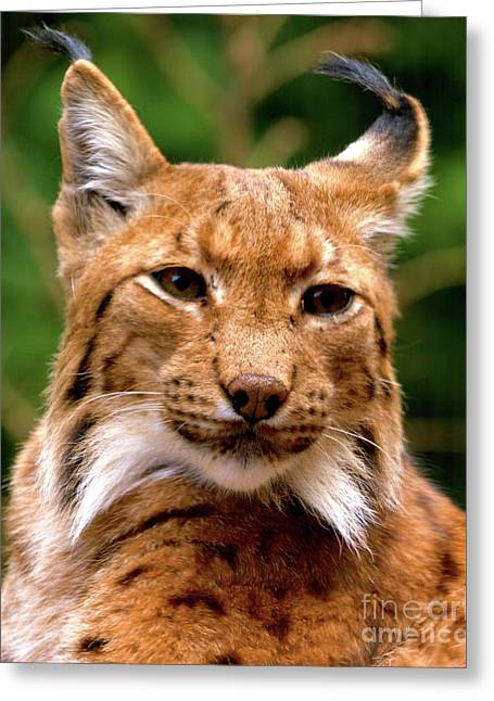 Lynx Portrait Greeting Card