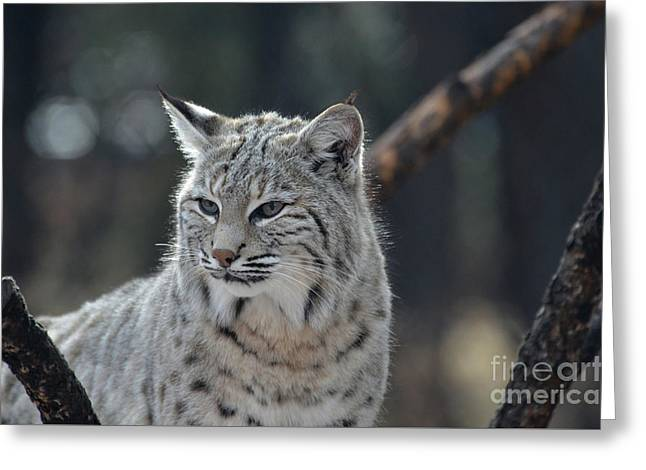 Lynx With A Very Unhappy Face Greeting Card