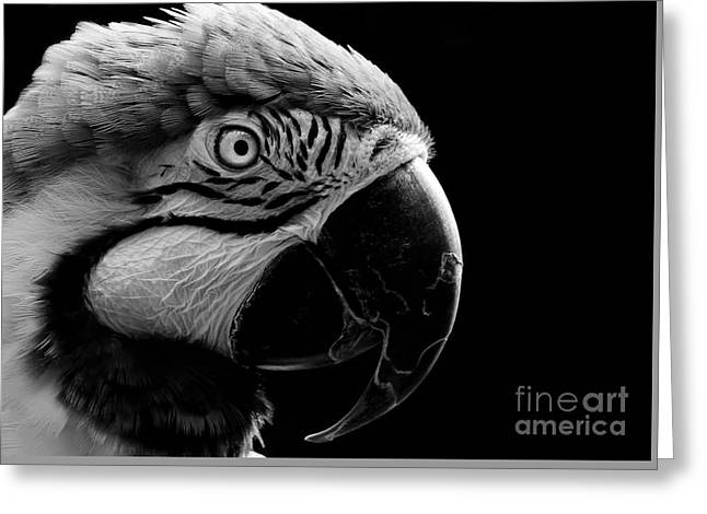 Macaw Parrot Portrait Black And White Greeting Card