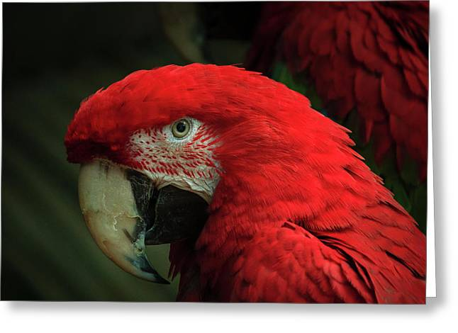 Macaw Portrait Greeting Card
