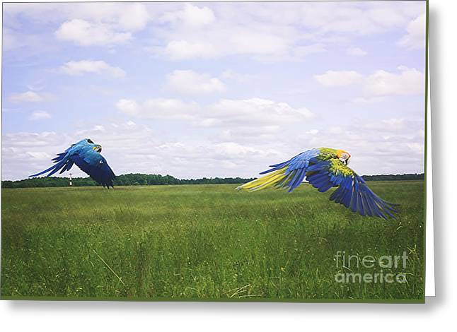 Macaws Flying Together Greeting Card
