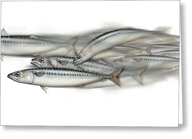 Mackerel School Of Fish - Scomber - Nautical Art - Seafood Art - Marine Art -game Fish Greeting Card