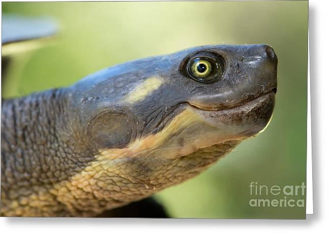 Macquarie Turtle Greeting Card by B.G. Thomson