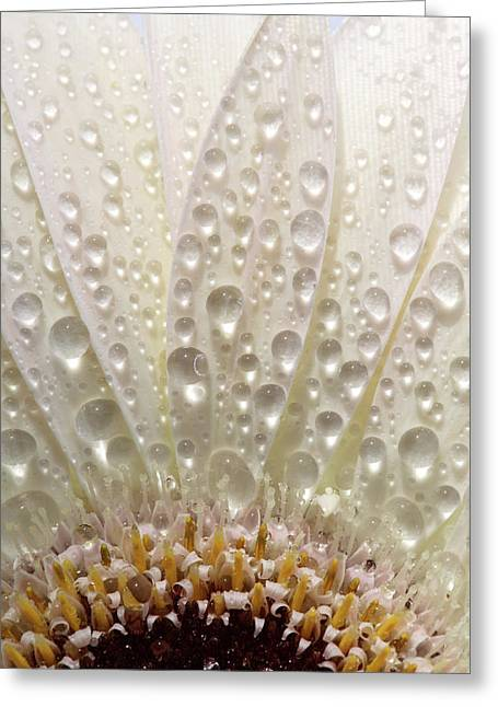 Macro Close Up Of A Daisy Flower Greeting Card